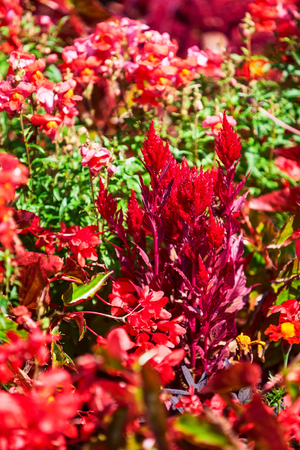 Red flower garden background in summer. Flowerbed with celosia, begonia and grass. Gardening and beautiful landscape, selective focus