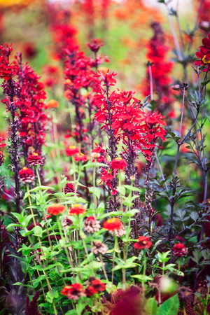 Red flower garden background in summer. Flowerbed with lobelia cardinal flowers, zinnia and grass. Gardening and beautiful landscape, selective focus