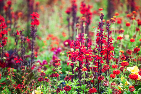Red flower garden background in summer. Flowerbed with lobelia, zinnia and grass. Gardening and beautiful landscape, selective focus