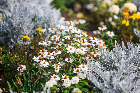 Flower garden in summer with white daisy flowers and silver ragwort plants. Floral background, selective focus 写真素材