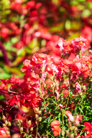 Red flower garden background in summer. Flowerbed with snapdragon, zinnia, sage and grass. Gardening and beautiful landscape, selective focus