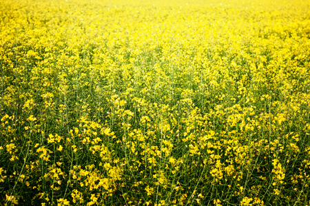 Yellow field rapeseed in bloom, blooming canola background. Selective focus 写真素材