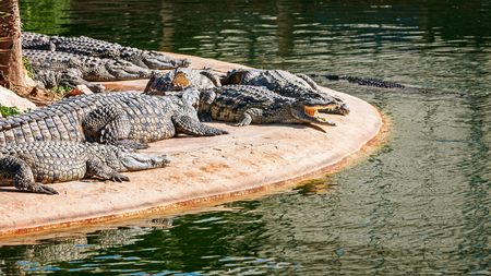 Nile crocodiles in explorer park, island Djerba, Tunisia. Landmark and travel destination