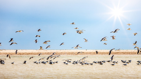 Seagull colony at a coast, flock of seagulls in flight, landscape of island Djerba, Tunisia 写真素材