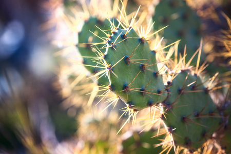 Cactus in desert with sunlight passing through plant needles background. Selective focus, bokeh