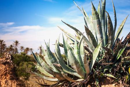 Aloe agave cactus on plantation. Agriculture and beautiful landscape, Tunisia, Africa