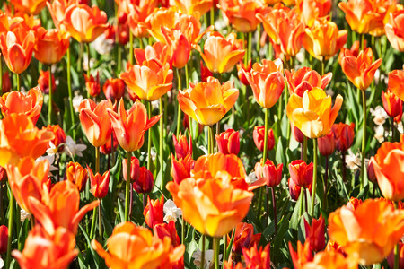 Colorful tulip flower garden background in summer. Flower bed with beautiful orange tulips. Gardening and beautiful landscape, selective focus