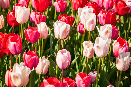 Colorful tulip flower garden background in summer. Flower bed with beautiful pink and white tulips. Gardening and beautiful landscape, selective focus