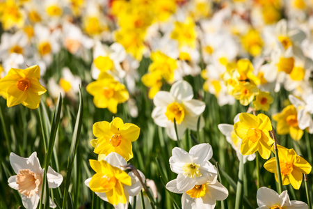 Colorful daffodil flower garden background in summer. Flower bed with beautiful white and yellow narcissus. Gardening and easter flowers concept, selective focus 写真素材