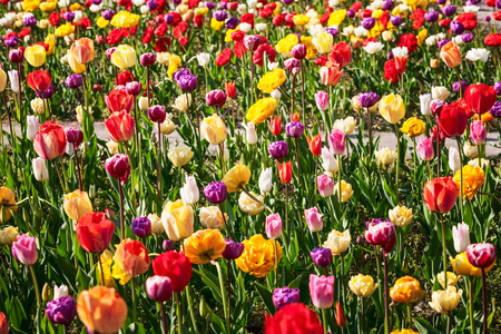 Colorful tulip flower garden background in summer. Flower bed with beautiful colorful tulips. Gardening and beautiful landscape, selective focus