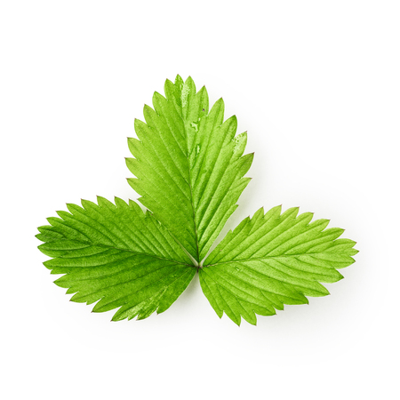 Strawberry green leaf isolated on white background clipping path included, design element. Top view, flat lay
