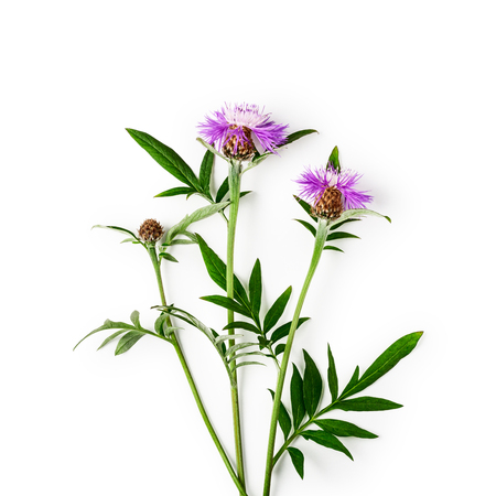 Pink centaurea knapweed flower bunch with flowers, leaves and steam. Purple cornflowers in summer garden arrangement isolated on white background with clipping path. Top view, flat lay. Floral design