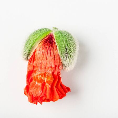 Red poppy flower bud isolated on white background. Flat lay, top view. Floral design element, New beginning concept