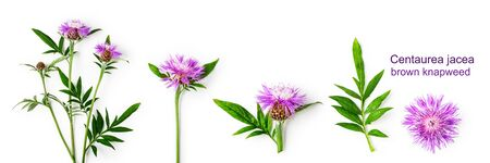 Knapweed flowers composition collection. Centaurea with leaves and stem set isolated on white background. Flower arrangement, floral design, top view, flat lay banner Reklamní fotografie