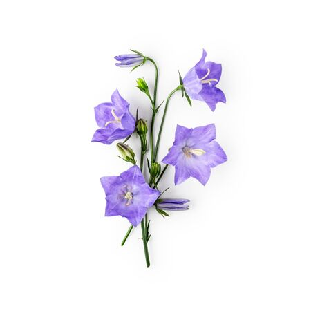 Blue bellflowers campanula flowers composition. Flower arrangement isolated on white background with clipping path. Top view, flat lay. Floral design element