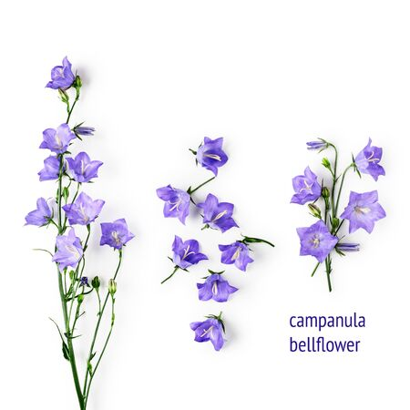 Blue bellflowers campanula flowers composition collection. Flower arrangement isolated on white background. Top view, flat lay. Floral design elements