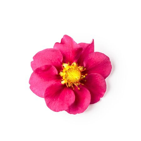 Strawberry pink flower isolated on white background clipping path included. Spring berries floral arrangement. Top view, flat lay, design element