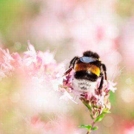 Honey bee pollinate marjoram flowers marjoram flower in summer garden Zdjęcie Seryjne