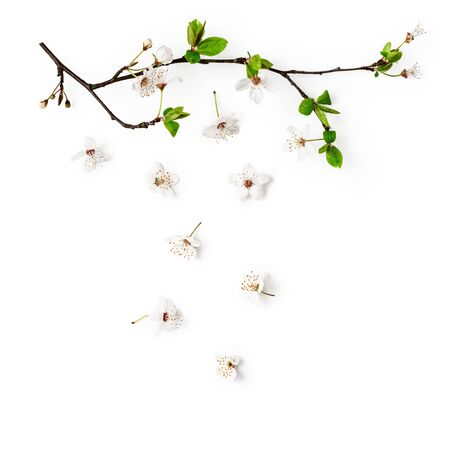 Cherry blossom. Creative composition with sakura spring flowers isolated on white background. Springtime themes. Flat lay, top view, floral design