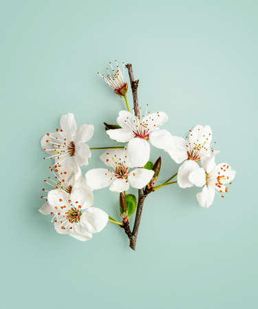 Cherry blossom. Creative composition with sakura spring flowers isolated on green background clipping path included. Springtime color card. Flat lay, top view, floral design