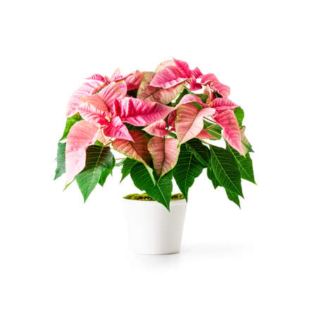 Pink poinsettia christmas flower isolated on white background with clipping path. Creative arrangement made of potted winter plant. Floral design element and holiday concept