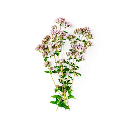 Oregano flowers and leaves bunch isolated on white background. Top view, flat lay. Flowering marjoram creative composition. Healthy eating and alternative medicine concept
