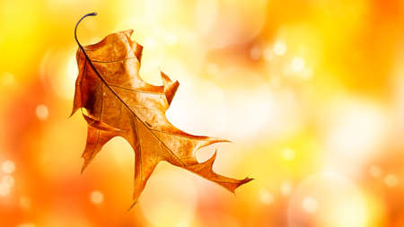 Autumn oak leaf with beautiful natural bokeh background. Creative composition and floral design. Copy space Stock Photo