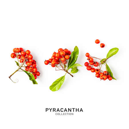 Pyracantha branch with red berries, leaves and stem in autumn garden. Floral set isolated on white background. Top view, flat lay. Design elements