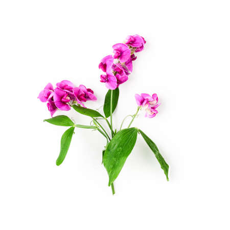 Vicia branch with pink flowers, leaves and stem in summer garden. Vetch flower arrangement isolated on white background with clipping path. Top view, flat lay. Floral design element