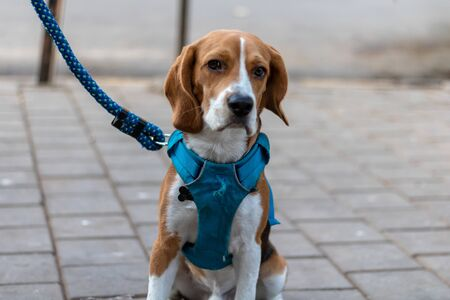 The beagle is a breed of small hound that is similar in appearance to the much larger foxhound.