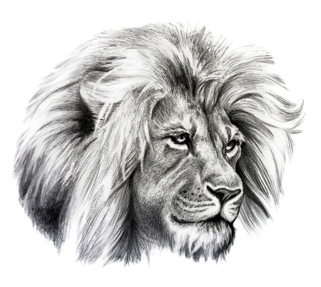 Pencil drawing of Lion head. Isolated on white background. Stock Photo