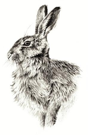 conejo: Bosquejo - Conejo en el fondo blanco. dibujo detallado pensil Foto de archivo