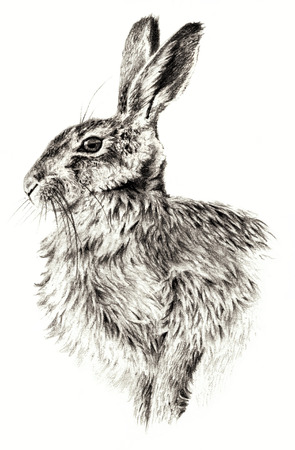 bunnies: Sketch - Rabbit on white background. Detailed pensil drawing