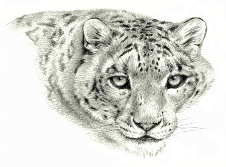 irbis: Pencil sketch - Isolated snow leopard`s head on white background