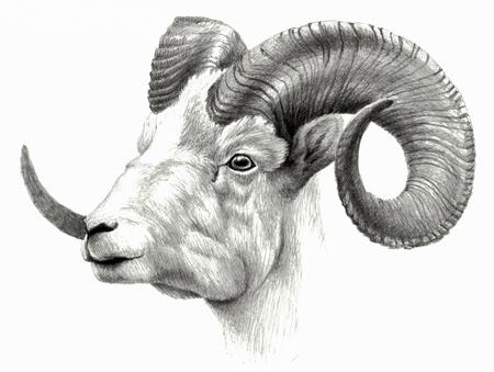Goat`s head isolated on white background. Reklamní fotografie