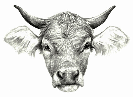 hoofed mammal: Cow`s head isolated on white background. Pencil drawing, monochrome image Stock Photo