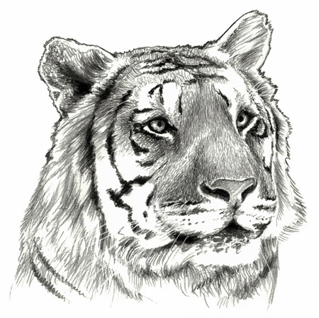 Tiger`s head isolated on white background. Pencil drawing, monochrome image