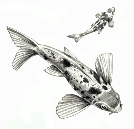 single fin: Japanese koi fish isolated on a white background. Detailed pencil drawing