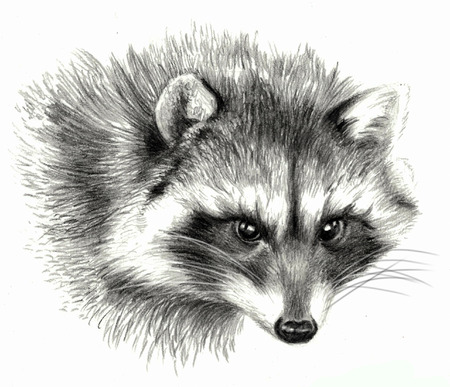 red pencil: Sketch - Raccoon portrait. On white background. Detailed pencil drawing Stock Photo