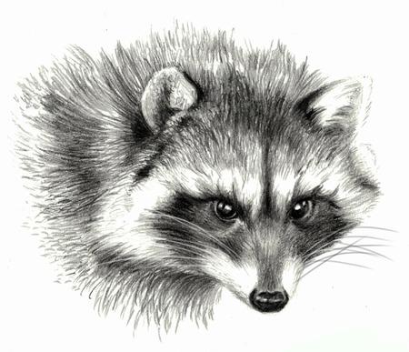 Sketch - Raccoon portrait. On white background. Detailed pencil drawing Standard-Bild