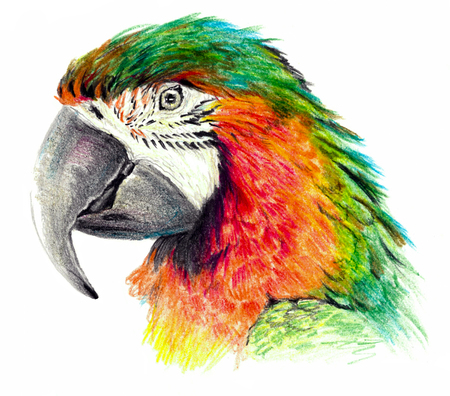 Color sketch - Parrot profile. On white background. Detailed pencil drawing