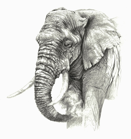 biggest animal: Sketch -African elephant on white background. Detailed pencil drawing