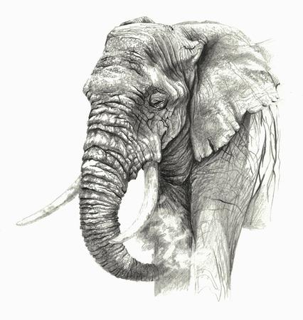Szkic -African słoń na białym tle. Szczegółowy rysunek ołówkiem
