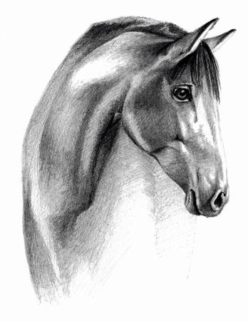 caballos negros: Bosquejo - profail caballo. En el fondo blanco. dibujo detallado lápiz, imagen monocromática