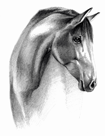 horse drawn: Sketch - Horse profail. On white background. Detailed pencil drawing, monochrome image