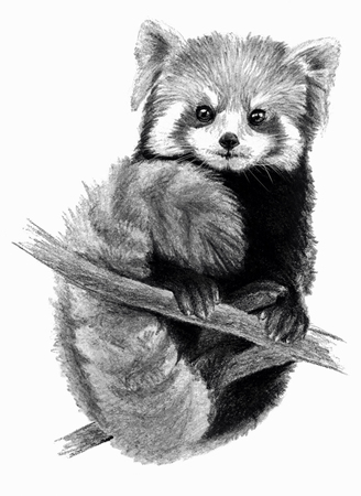Sketch - Red Panda on the tree. On white background. Detailed pencil drawing, monochrome image