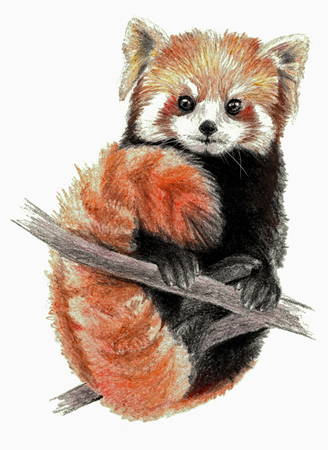 Red Panda isolated on white background. Pencil drawing