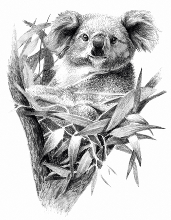 Sketch - Koala bear on the tree. On white background. Detailed pencil drawing, monochrome image Stock Photo