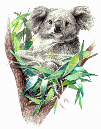 arboreal: Color sketch - Koala bear on the tree. On white background. Detailed pencil drawing