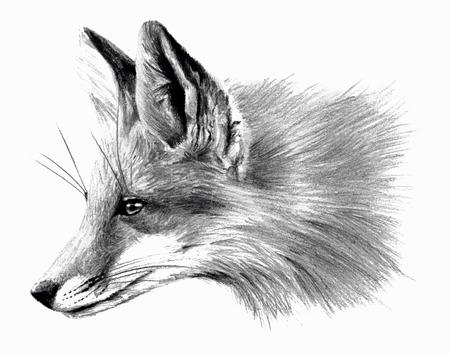 Fox profail isolated on white background Reklamní fotografie